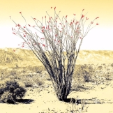 yellow-ocotillo2.jpeg